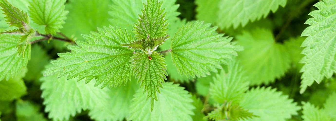 Three Home Remedies For Nettle Stings Cushelle